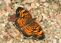 Pearl or Phaon Crescent ? - Phyciodes tharos
