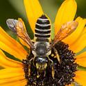 Megachile - Leaf-cutter Bee - Megachile - female