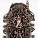 Metallic Wood-boring Beetle - Dicerca divaricata