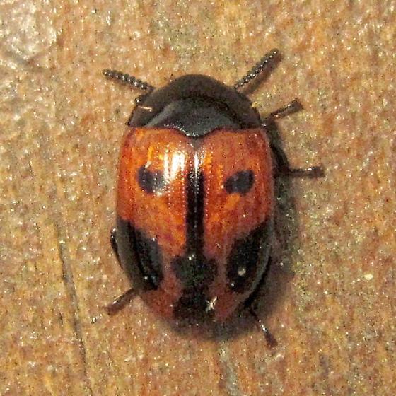 Endomychus biguttatus - Diaperis maculata