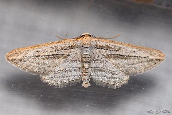 moth - Glena quinquelinearia - male