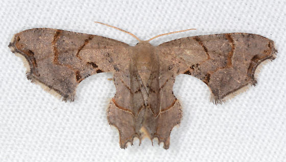 Calledapteryx dryopterata - Brown Scoopwing - Calledapteryx dryopterata