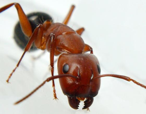 Camponotus sayi - Camponotus decipiens