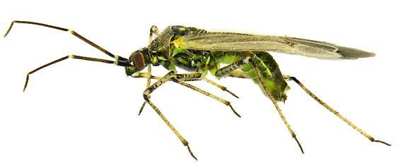 Macrotylus infuscatus Van Duzee, 1917 - Macrotylus infuscatus - male
