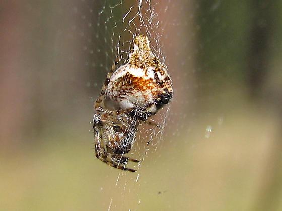 Orb Weaver - Cyclosa conica - Cyclosa conica