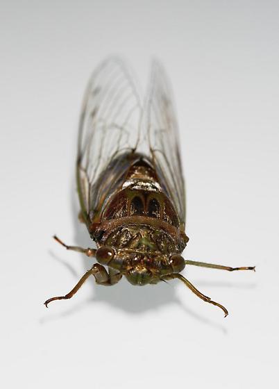 Diceroprocta biconica, Key's Cicada - Diceroprocta biconica - male