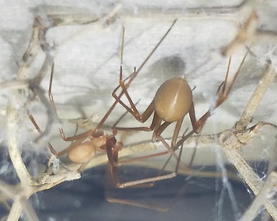 Loxosceles rufescens - male - female