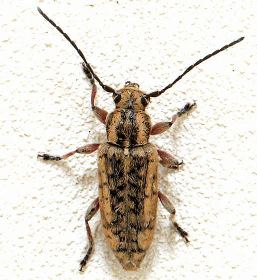 Beetle - Atimia confusa