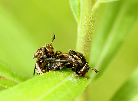 Mating Flies ? - male - female