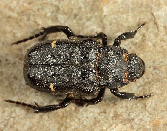 Anteater Scarab Beetle - Cremastocheilus