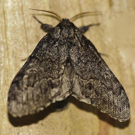 Dark Moth - Notodonta torva