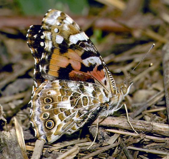 Painted Lady (Cosmopolitan) - Vanessa cardui