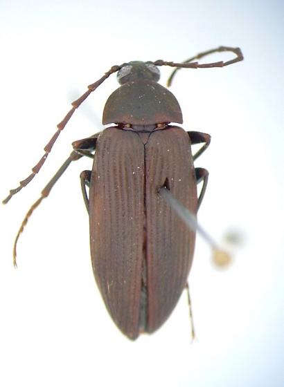 Capnochroa fuliginosa - male