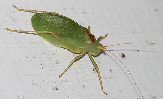 Katydid - Pterophylla camellifolia - male