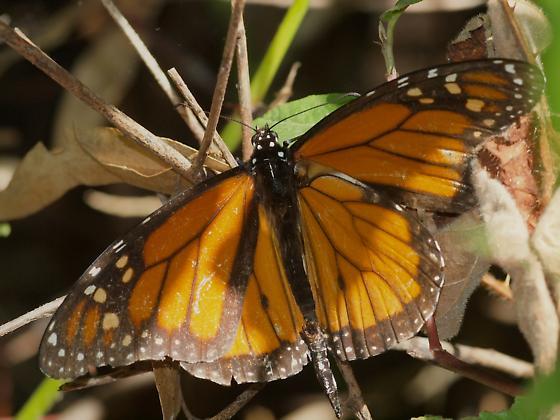 Monarch (Danaus plexippus) - Danaus plexippus