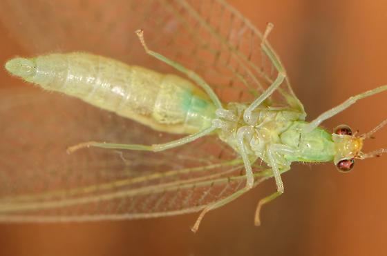 Chrysoperla - Chrysoperla rufilabris