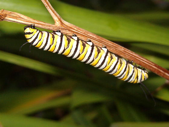 Not sure what type of bug this is- 3rd picture of caterpillar was nearby - Danaus plexippus