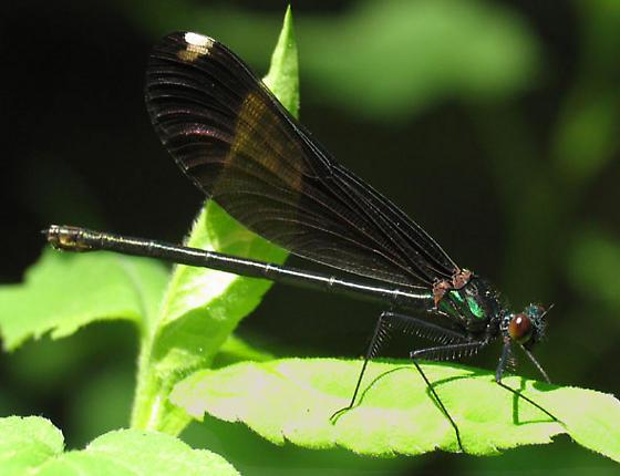 Calopteryx maculata - female