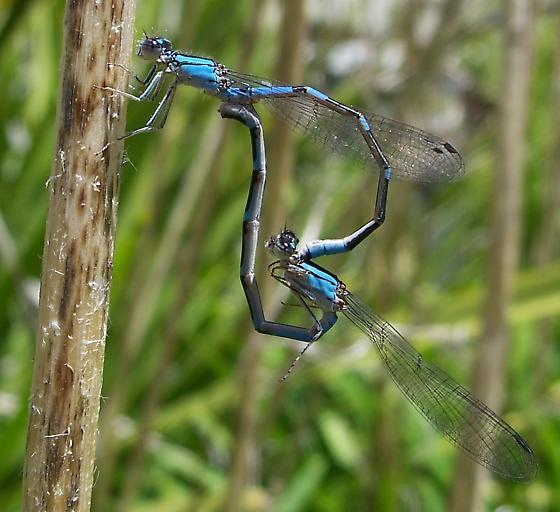 Unknown Zygoptera - Enallagma carunculatum - male - female