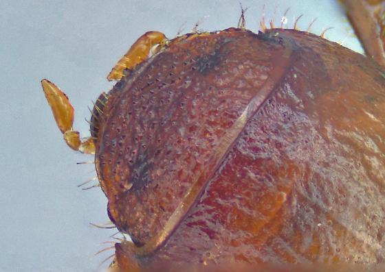 Rhysothorax rufus