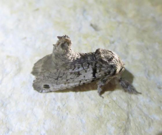 Inguromorpha n. sp. 2659.97 - Inguromorpha n-sp