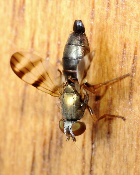 Picture-winged Fly - Chaetopsis fulvifrons - female