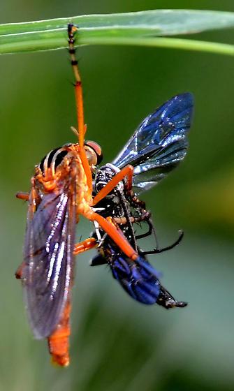 Diogmites (neoternatus?) and prey - Diogmites neoternatus