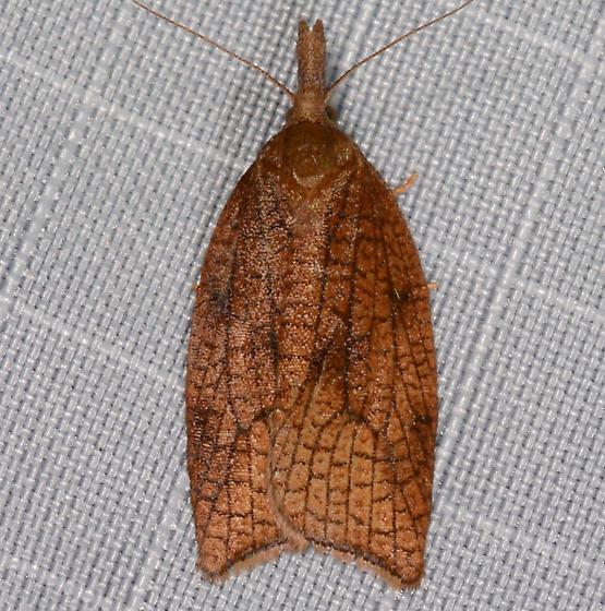 Sparganothis boweri ? - Sparganothis xanthoides