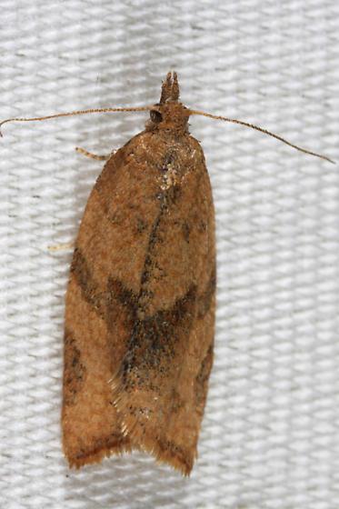 unknown moth - Argyrotaenia franciscana