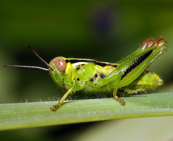 Acrididae nymph - Melanoplus