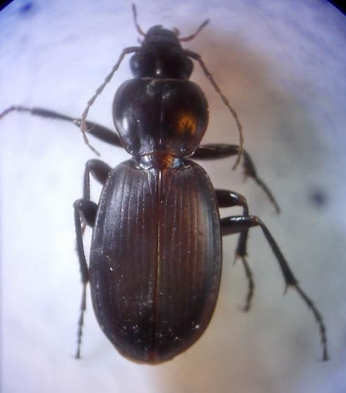 Carabidae - Synuchus dubius