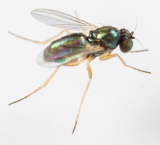 Thrypticus  - Thrypticus willistoni - male