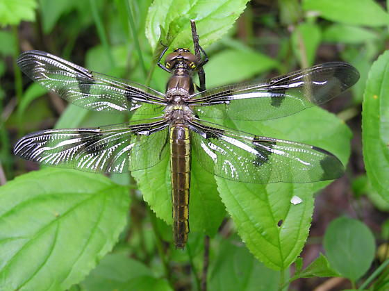 Teneral Twelve-spotted Skimmer - Libellula pulchella - female
