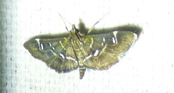 Diathrausta harlequinalis