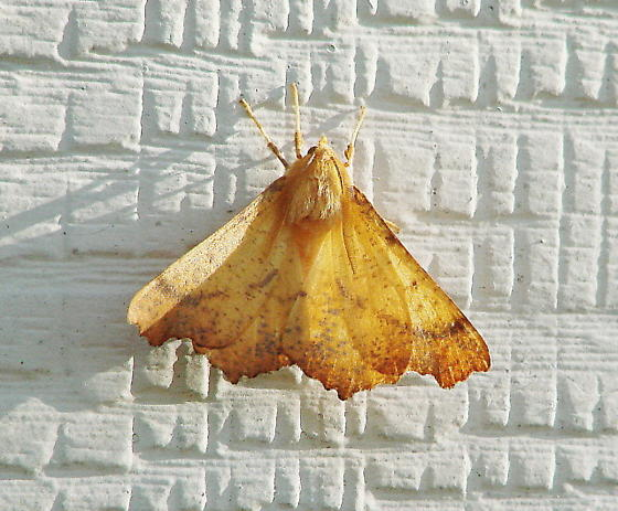 Orange colored moth - Ennomos magnaria