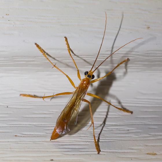 Ichneumon wasp - Rhopalosoma nearcticum