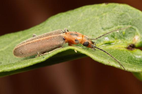 Unknown bug - Oxacis trirossi