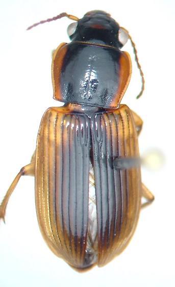Anisodactylus discoideus - male