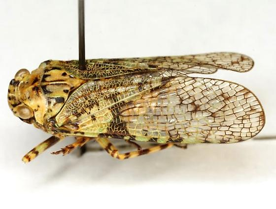 Calyptoproctus marmoratus Spinola - Calyptoproctus marmoratus
