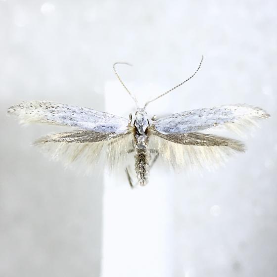 Coleophora bernoulliella - female