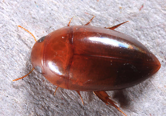 Burrowing Water Beetle - Hydrocanthus iricolor