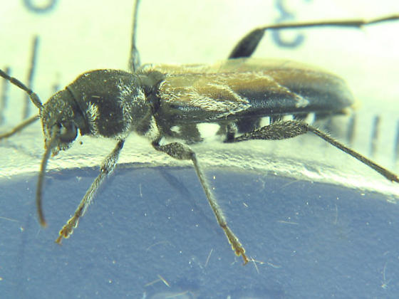 which species? - Xylotrechus aceris