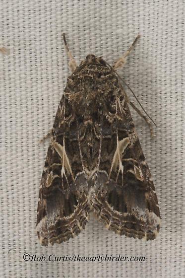 9078408 moth - Spodoptera ornithogalli