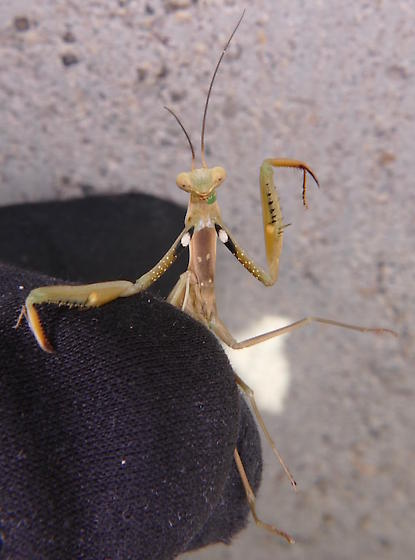 European Mantis - Mantis religiosa - male