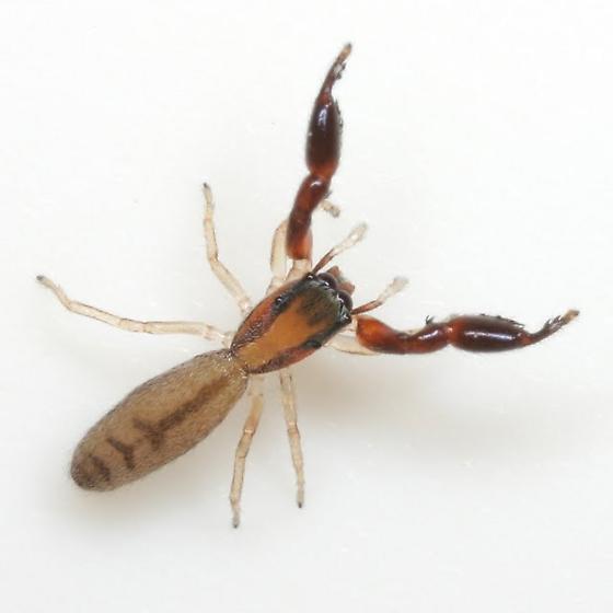 Bellota longimana (Gertsch) - Cheliferoides longimanus - female