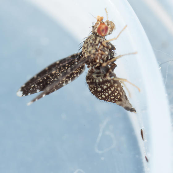 Seems similar to peacock fly, Ulidiidae? - Trypetisoma sticticum - female