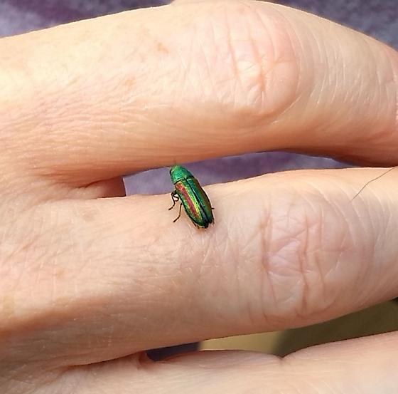 Irridescent green beetle - Chrysophana placida