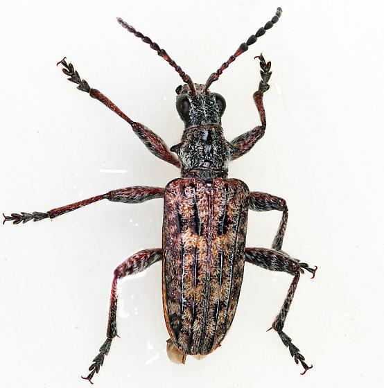 Ribbed Pine Borer - Rhagium inquisitor