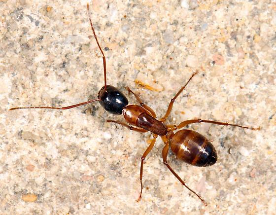 Camponotus? - Camponotus americanus - female