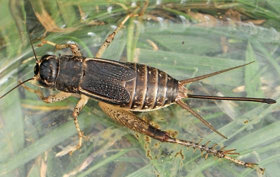 Japanese Burrowing Cricket (Velarifictorus micado) - Velarifictorus micado - female